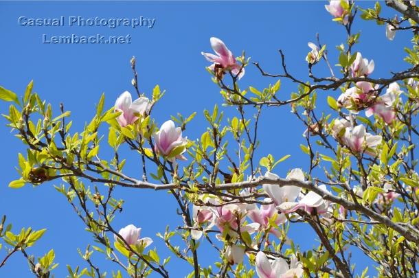 Late spring Magnolia